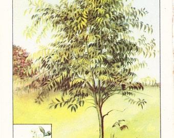 1926 Botany Print - Black Acacia Tree - Vintage Antique Book Art Illustration Nature Natural Science Great for Framing