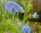 Organic Heirloom Blue Sweet Pea Seeds (Lathyrus sativus azureus)