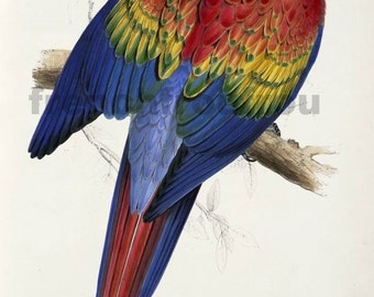 antique scarlet red blue yellow macaw tropical bird illustration digital download