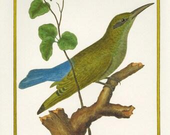 Sale Vintage Bird Print Book Plate of Grand Guepier