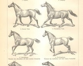 1905 Horse Gaits, Exterior Anatomy of the Horse, Body Parts of the Horse Original Antique Engraving to Frame