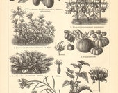 1895 Vegetables, Eggplant, Tomato, Watercress, Endive, Spinach, Onion, Leek, Pumpkin, Melon, Cucumber, Bean, Pea, Celery Antique Engraving