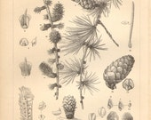 1890 Foliage, Cones, Buds and Seeds of the European Larch Original Antique Engraving to Frame