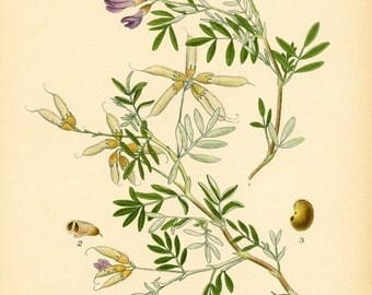 MILK VETCH - Botanical Book Plate 322