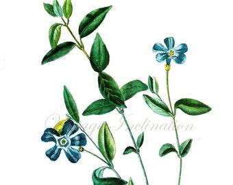 Vintage PERIWINKLE Botanical Print A antique plant print botanical print, bookplate art print, herbs herb plants plant wall print