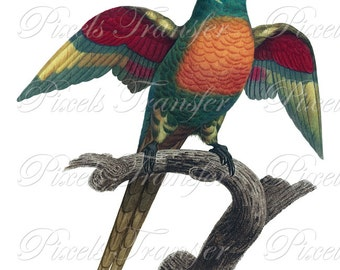 PARROT Instant Download Digital Download, birds clipart vintage illustration 262