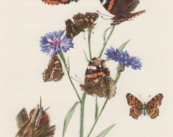 1957 Red Admiral Butterfly, Antique Print, Insects, Entomology, Lepidoptera, Nymphalidae, Vanessa atalanta, Araschnia levana, Map Butterfly