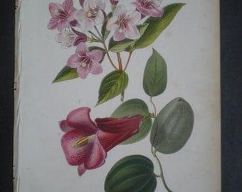 Antique Flower Print of Weigela circa 1875