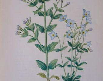 Purple Houstonia, Houstonia purpurea and Bluets, Hopustonia caerulea, Vintage illustration flower print