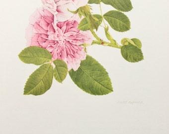 Charles Raymond, Vintage 1950s Botanical Rose Print on High Quality Art Paper, Rosa Gallica President de Seze