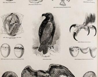 1845 Antique Bird Print or Black and White Engraving - Bird Anatomy, Eggs, Embryos, Growth, Talons, Golden Eagles
