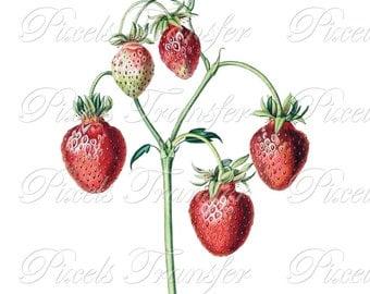 STRAWBERRIES Instant download Digital Downloads, fruits botanical illustration, wedding clipart 316