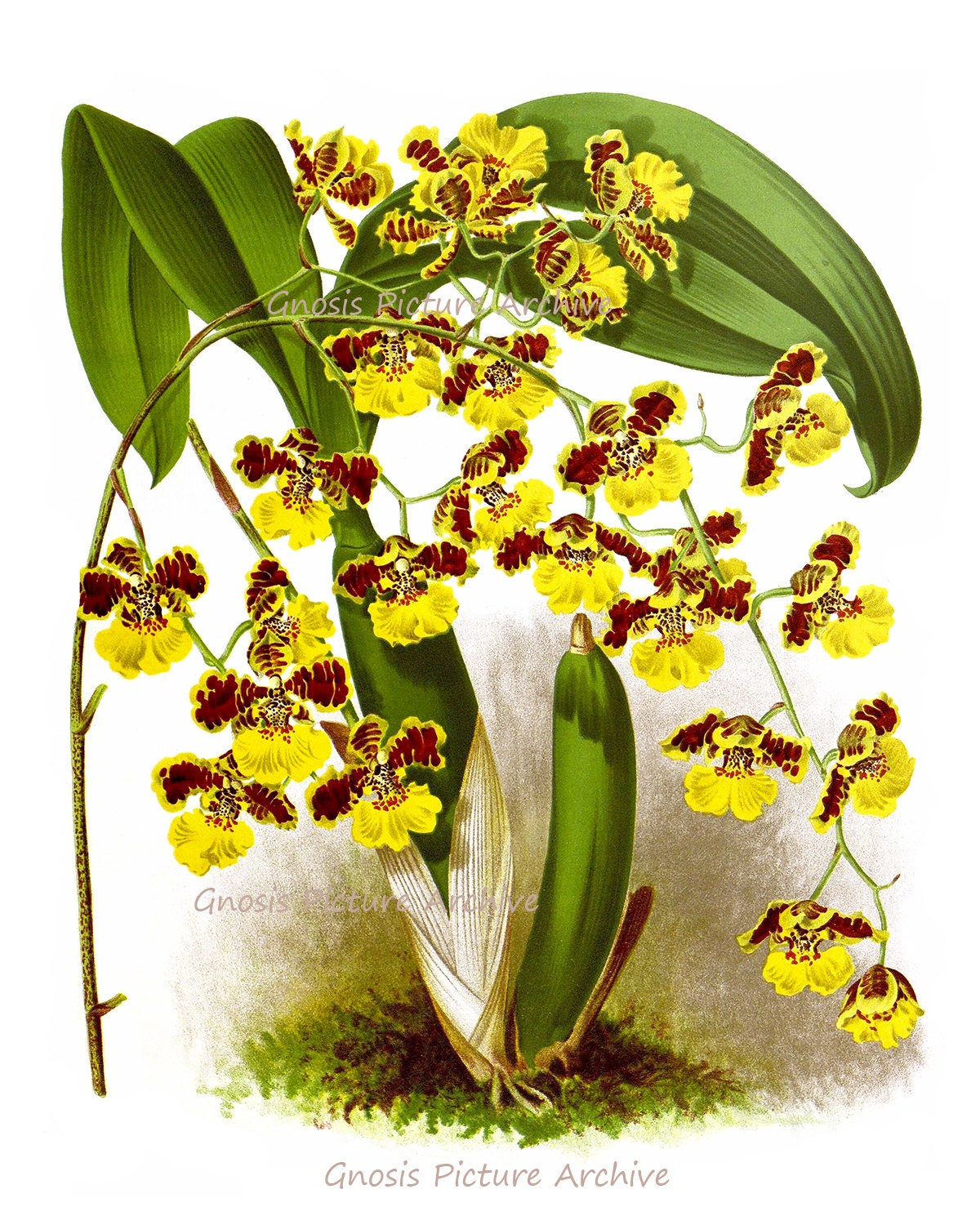 Antique Botanical Print Orchid No 6 Wall Art Tropical Decor