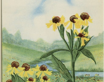 1926 Vintage Botanical Print Black Eyed Susan Flower Garden Vintage Decor 8x10""