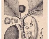 Artocarpus incisa (Bread-fruit Tree)...botanical print...botanical art... from 1904... digital illustration no. 651