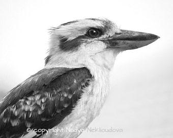 Kookaburra black and white photo - Fine Art nature decor, bird photography, bird wall art, Australian art, wildlife photography, nature
