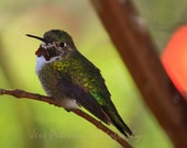 Bird Photos Ruby Throat Hummingbird photography print nature photo wall art bird lover gift green orange brown home decor Fine Art Photos