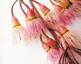 "Flower photography eucalyptus tree pods pink white orange minimal plant still life botanical art  ""Eucalyptus Cluster"""