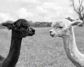 Animal Art Print, Alpaca Photograph, Animal Photography, Black & White, Monochromatic Art, Animal Wall Decor, 8x10, 11x14 - Nose to Nose