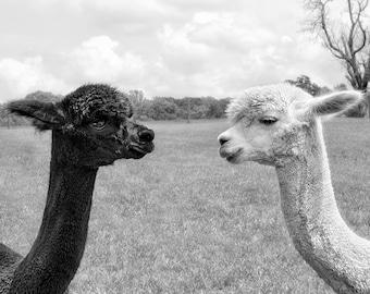 Animal Art Print, Alpaca Photograph, Animal Photography, Black & White, Monochromatic Art, Animal Wall Decor - Nose to Nose