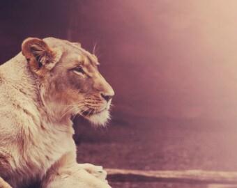 Wildlife Photography - Nature Lion Lioness Photo Jungle Desert Theme Wild Animal Print Safari African Lion Nature Brown Home Art Decor