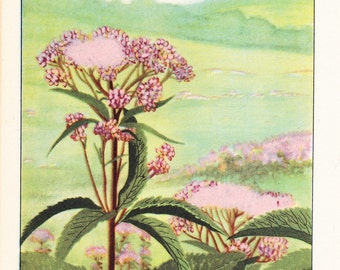 1926 Flower Print - Joe Pye Weed - Vintage Home Decor Botany Art Illustration for Nature Science Woman Great for Framing