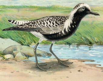 1900 Rare Chromolithograph of the Black-bellied Plover