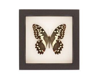 Christmas butterfly Framed Insect Taxidermy