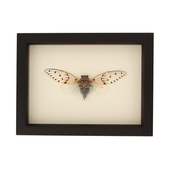 Real Framed Cicada Insect Museum Display