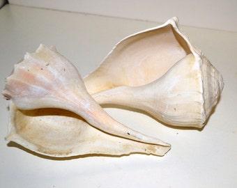Beach Decor Craft Supplies Pair of Medium sized Whelk Shells