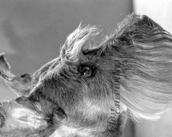 Portrait of Gretl Miniature Schnauser Dog Portrait Photography