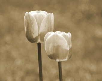 Sepia tulips photo, surreal, dreamy, nature, flowers