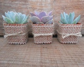50 Rosette Succulents Wrapped In Burlap And Tied With Twine, Great Favors, Table Decor, Gifts