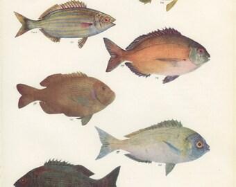 Sea Bream, Salema Porgy, Trout, Vintage Fish Print, 1950, Marine, Margaret Smith 47, Ichthyology, Natural History