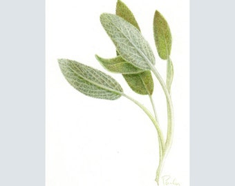 Fresh Sage PRINT / Herb PRINT / Colored Pencil Art / Herb Drawing / Herb Art / Sage Drawing