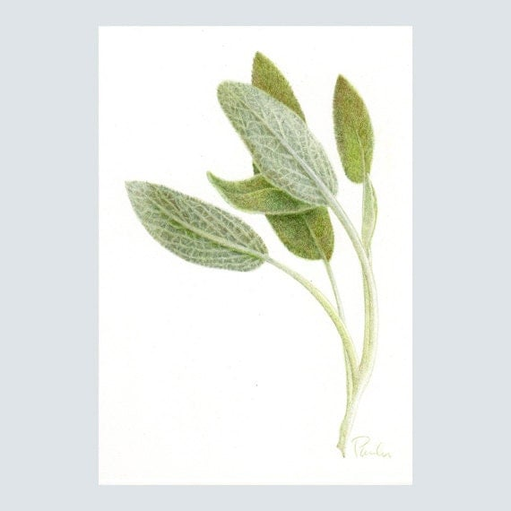 fresh sage print herb print colored pencil by