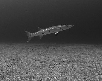 Monochrome Art Underwater Photography print of Barracuda Black and White Masculine Decor