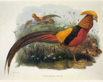 CLEARANCE Vintage Book Plate Pheasant