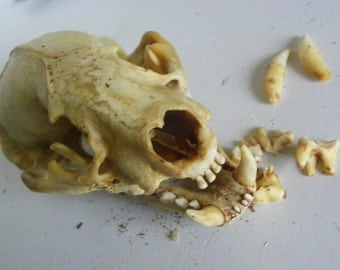 No. A10 - Cruelty Free - Badger Skull - Coon Educational Taxidermy Animal Specimen Bone Skulls Death USA Natural Curio