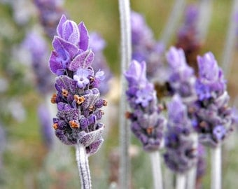 Lavender Witch Hazel Facial Toner - Available in  2, or 4 oz Bottles - All Natural Toner - Alcohol Free - Paraben Free Product