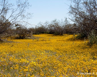 Fields of Yellow, flowers, spring, Mojave Desert, blue, brown, wildflower, Goldfield wildflowers, nature, photograph
