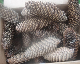 Pine Cones  Sugar Pines   Box Of Pine Cones  Cones For Decorating For Holidays School Projects