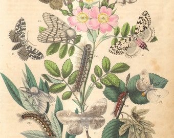 1863 Antique Hand Coloured Copper-plate Engraving of Tussock Moths and Owlet Moths, White Satin Moth, Gypsy Moth, Black Arches