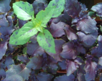 Opal Basil Heirloom Herb Seed