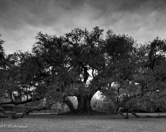 New Orleans Photography, Tree of Life, Audubon Park, Black and White, Nature Photograph