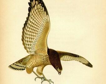 1942  Vintage Print Birds of Prey, Roadside Hawk, American Bird Print