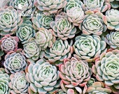 Succulents Photography- Echevaria, Mint, Green, Blue, Pink, Nature Photography, Botanical Print, Succulent Wall Art, Garden Art,