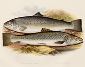 Print of Salmon. 1879 Antique print of a Short Headed Salmon and Silvery Salmon by The Rev. W Houghton. Perfect For The Fly Fisherman.