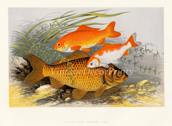 Golden carp fish print 1879 antique print of gold fish by the for Golden ornamental pond fish crossword