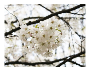 White Blossoms 1, Photo Print